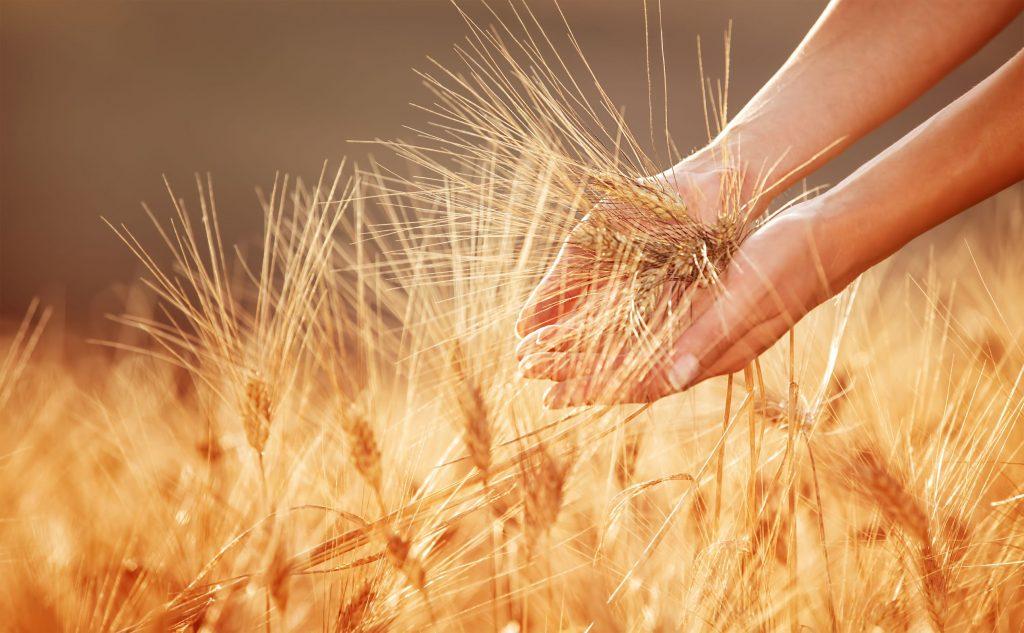 ENVATO woman-hands-touching-golden-wheat-field-PG22R6L