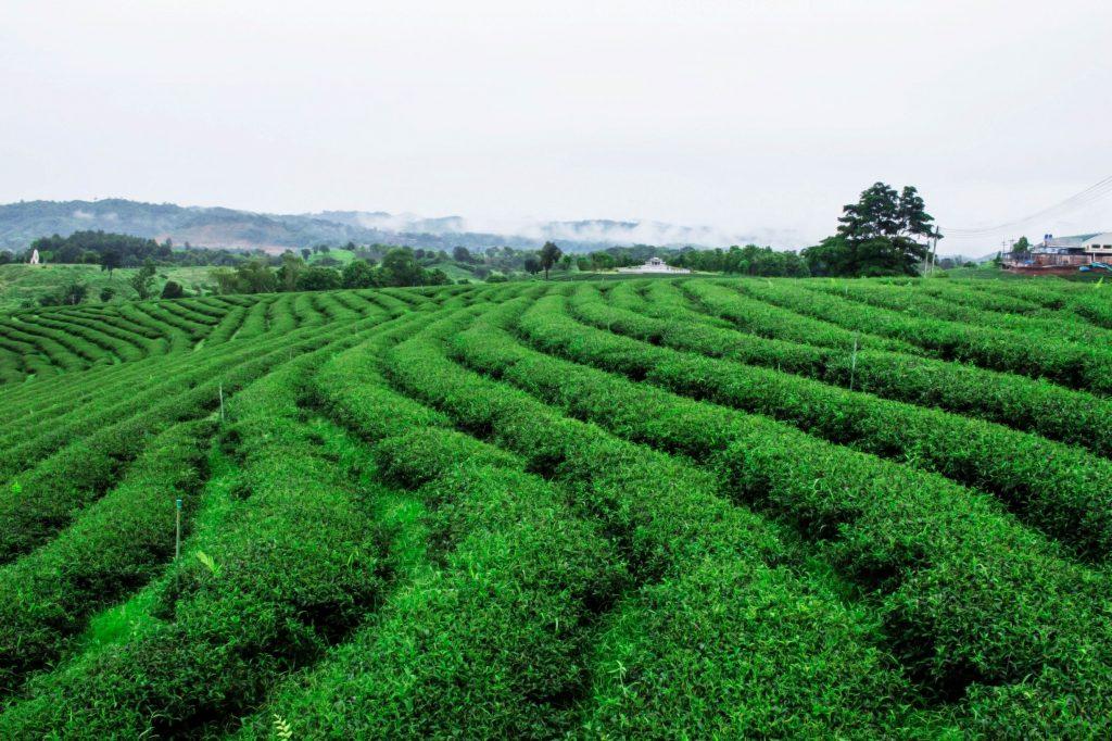 tea-of-nature-green-PAMS22E_resize