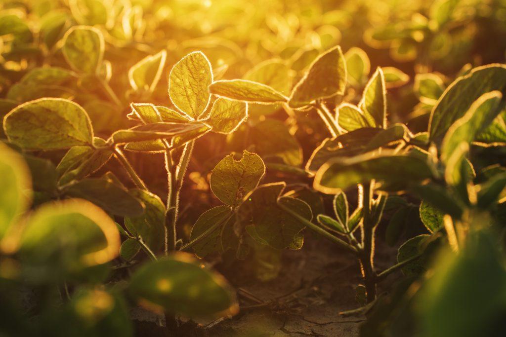 Organic soybean field in sunset