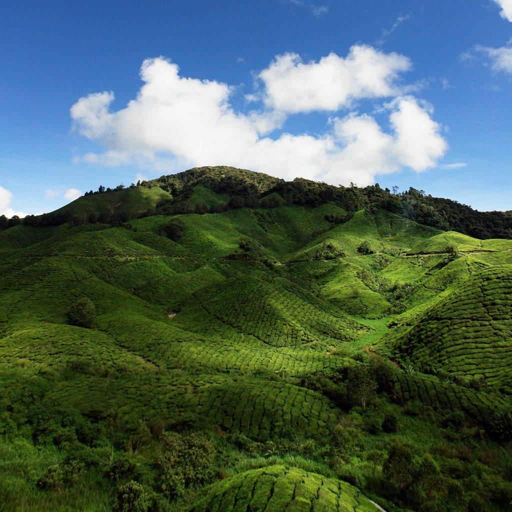 tea-plantation-ZVPY9K3