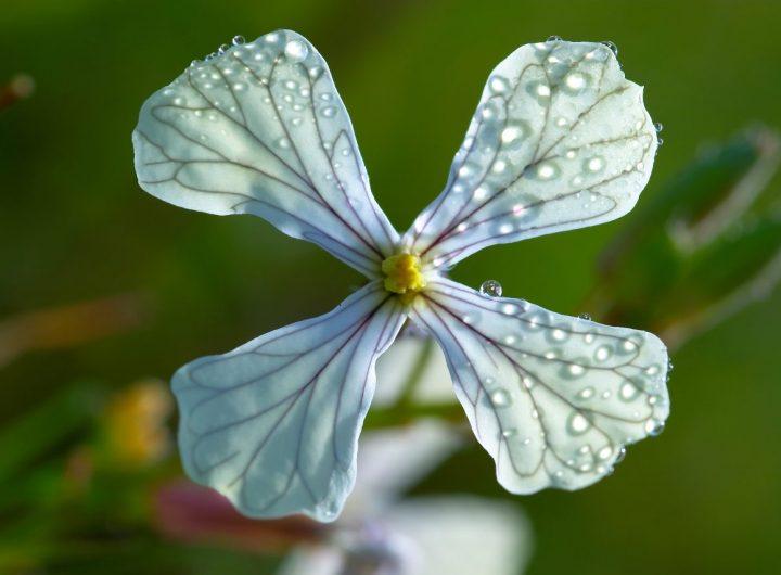 cruciferous-flower-PGUM3MS