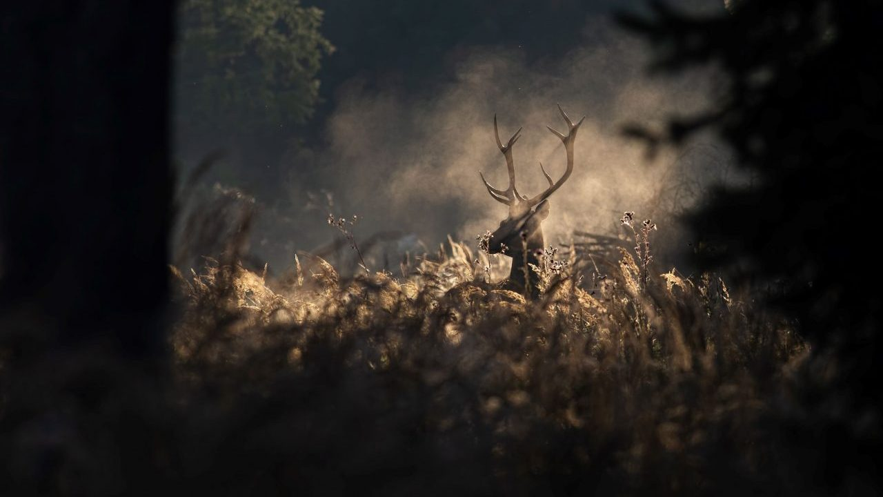 red-deer-stag-in-morning-autumn-mist-9P6KCFN