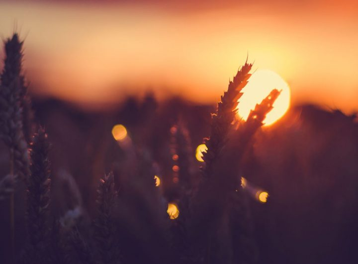 silhouette-of-wheat-ears-in-front-of-sun-at-sunset-UN9KJF3