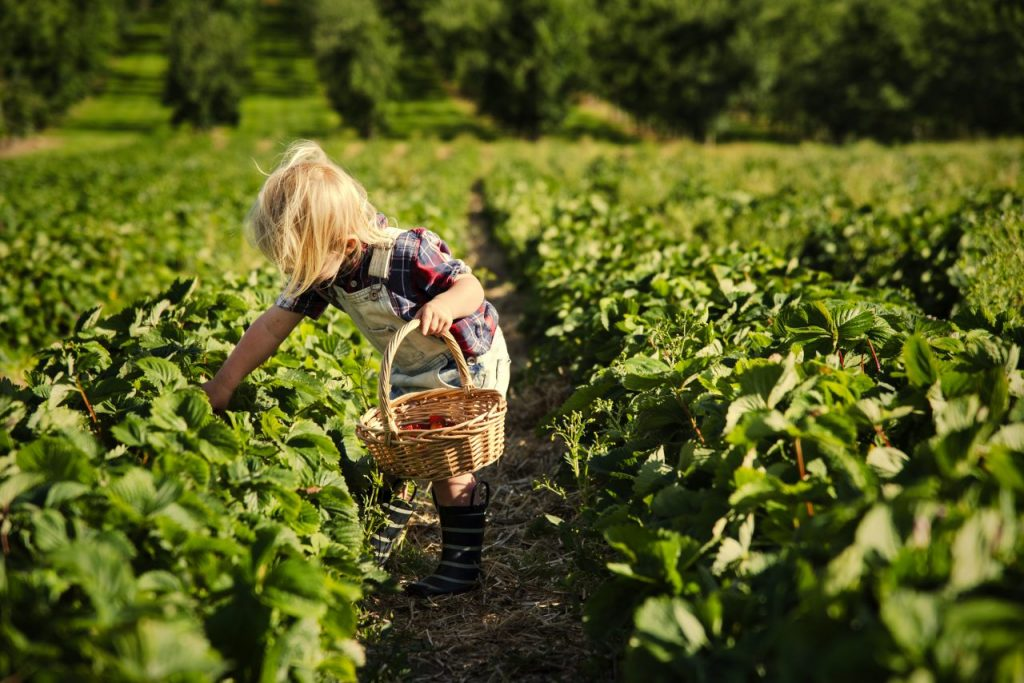 kid-in-strawberry-farm-GUCSQBP