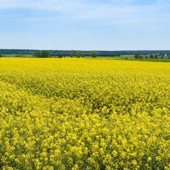 field-of-blooming-rapeseed-KWXM3X5