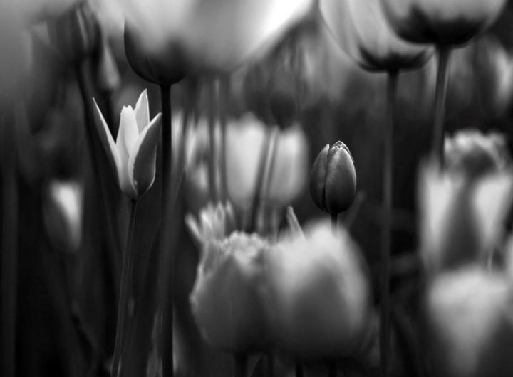 tulips-PVZXGX5