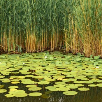 wild-withe-waterlilies-PVV5QC6